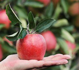 Obst schwefeln – So wird`s gemacht