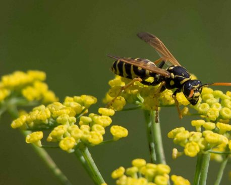 Gewusst wie – Wespenstiche behandeln