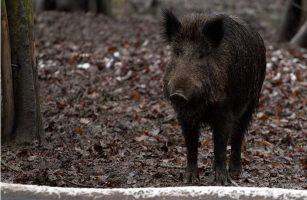 Wildschweine abwehren: So schützt du dich selbst