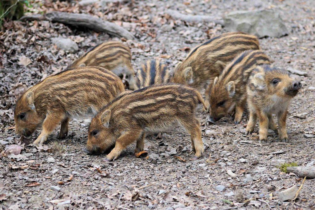wildschweine-abwehren