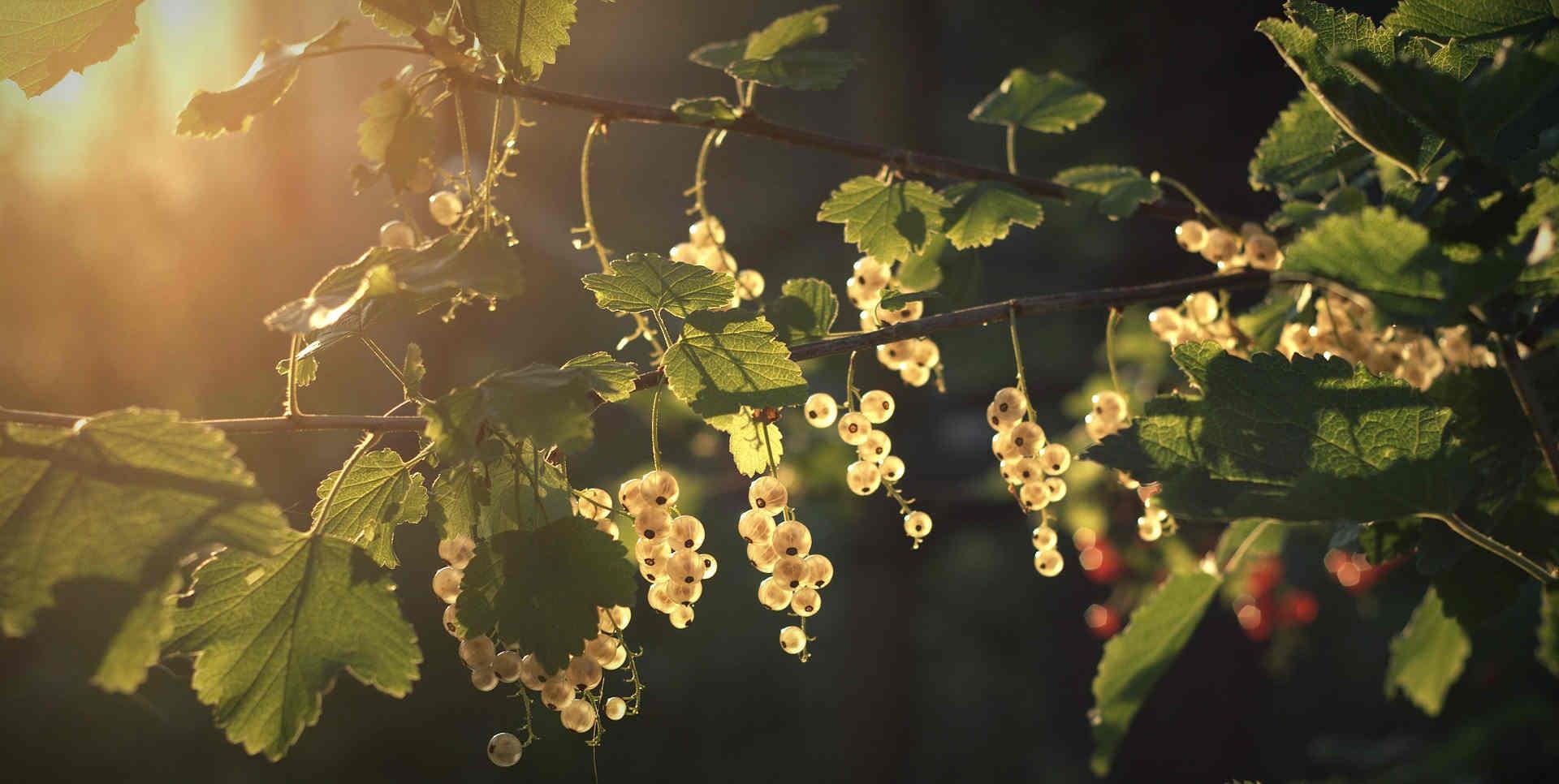 Essbare Pflanzen im Wald: Beeren & Wildkräuter