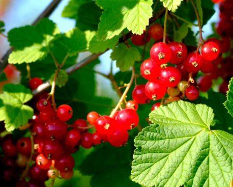 Essbare Wildpflanzen: Beeren & Co. aus dem Wald