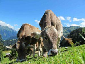 kühe-wandern-alpen