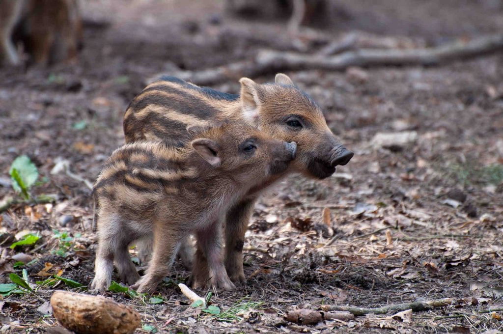wildschwein-angriff abwehren