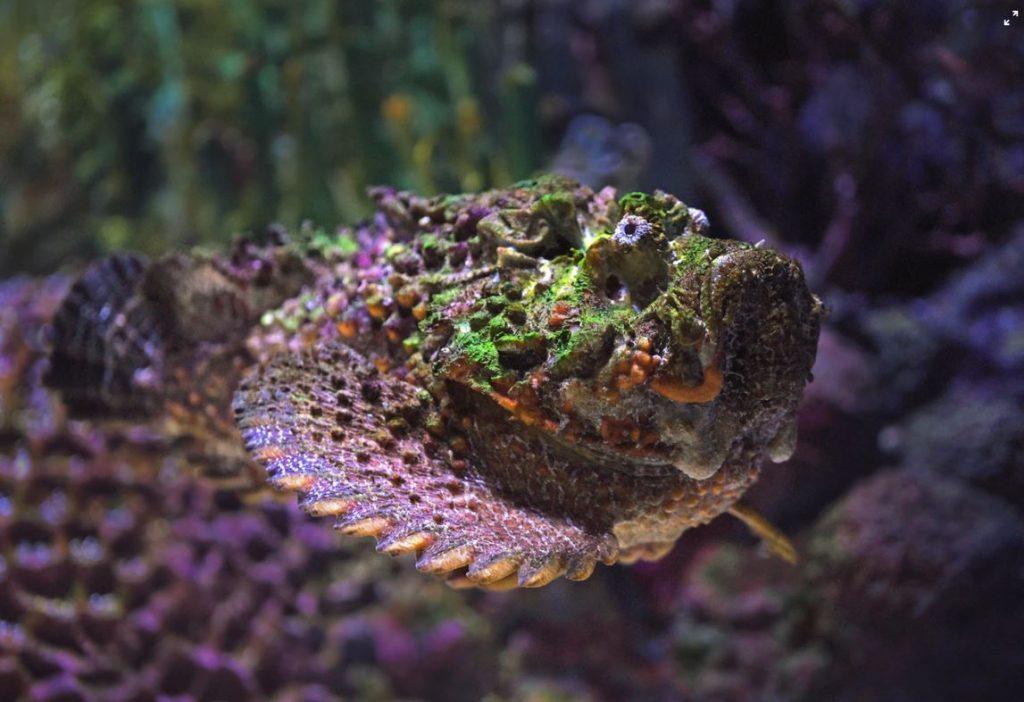 steinfisch-tier-australien