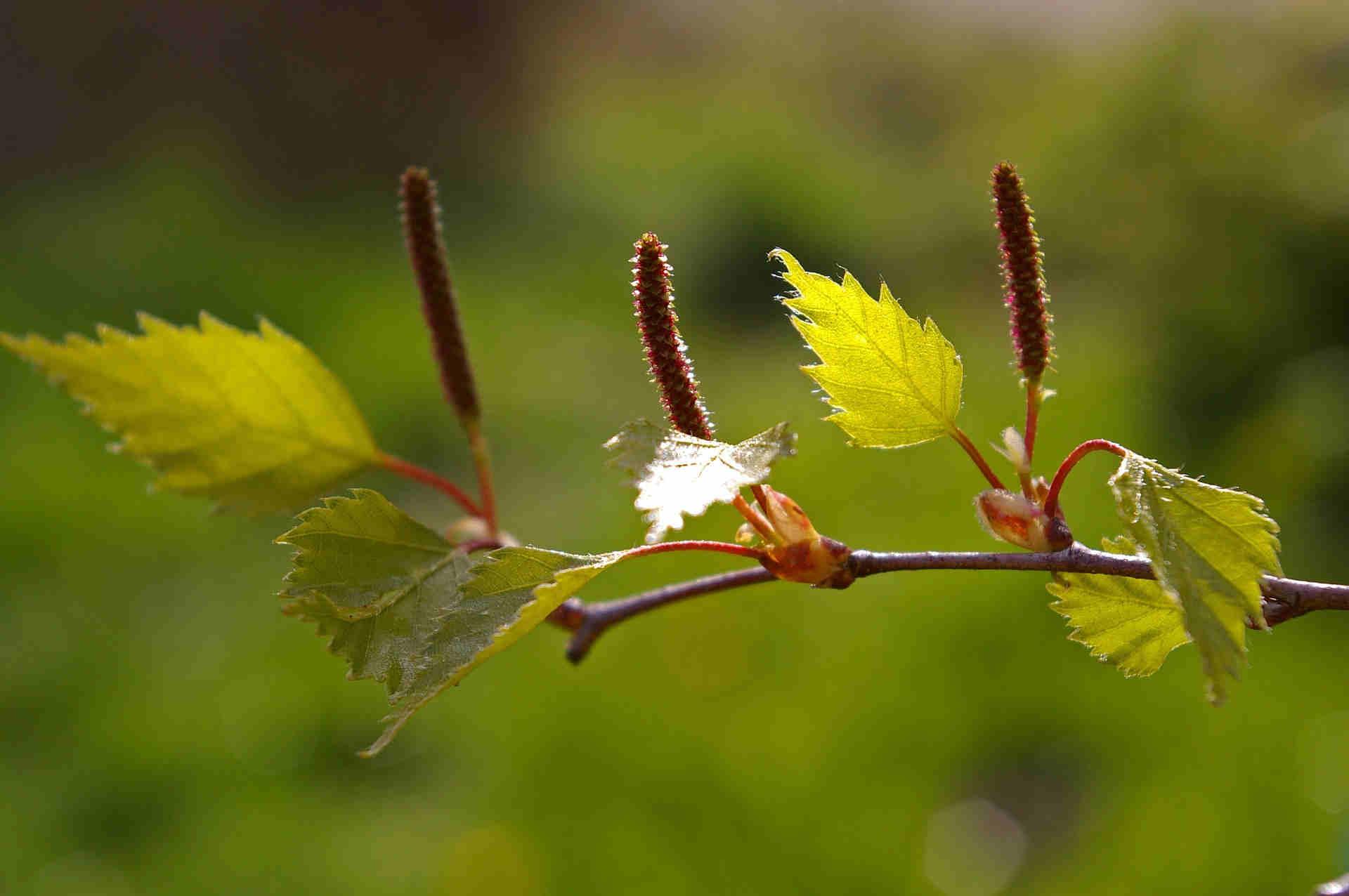 Blätter-birke-nahrung