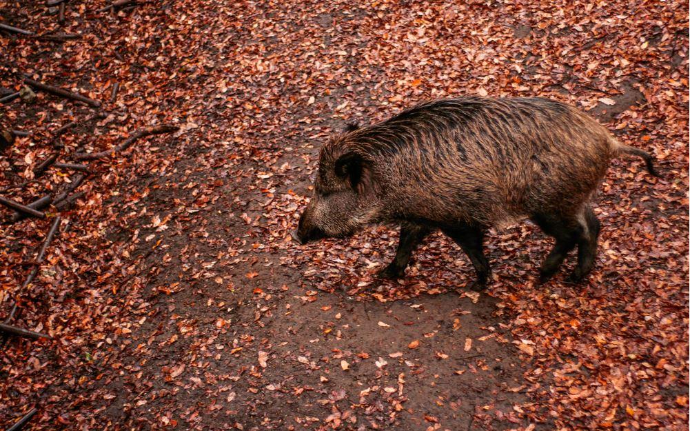 wildschwein-abwehren